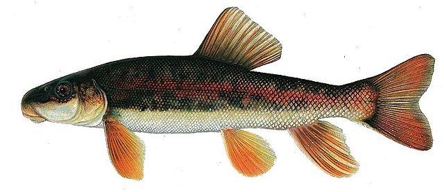 Modoc Sucker Public Domain US Fish and Wildlife Service