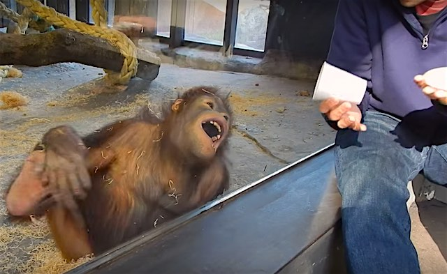 Orangutan Laughs At Magic Trick Screenshot YouTube