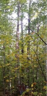 Tallest Chestnut Tree released Brian Roth