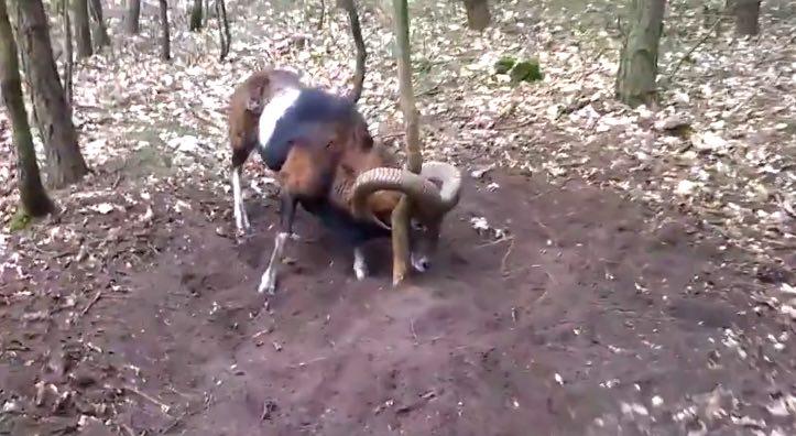 sheep horns stuck-youtube