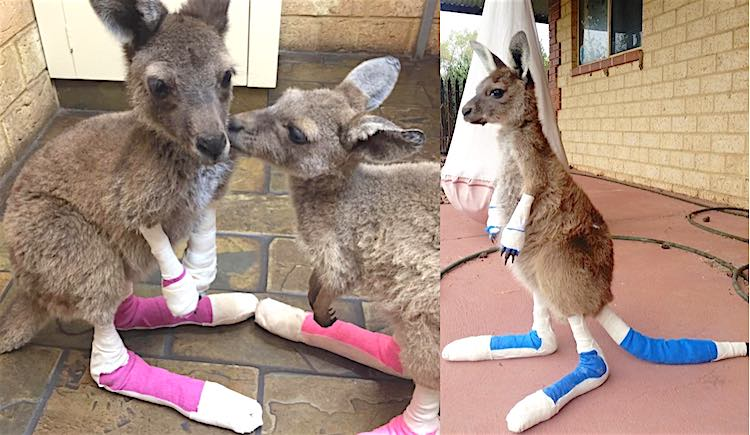 Bandaged Baby Kangaroos FEATURED FB Waroona Veterinary Clinic