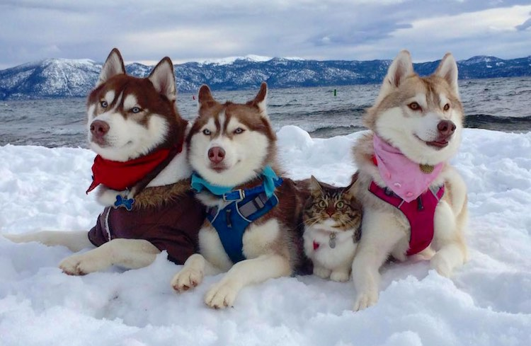 Cat Rescued by 3 Huskies is Now One of the Pack (Cuteness Overload)