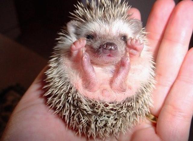 baby hedgehog-cc-Riude