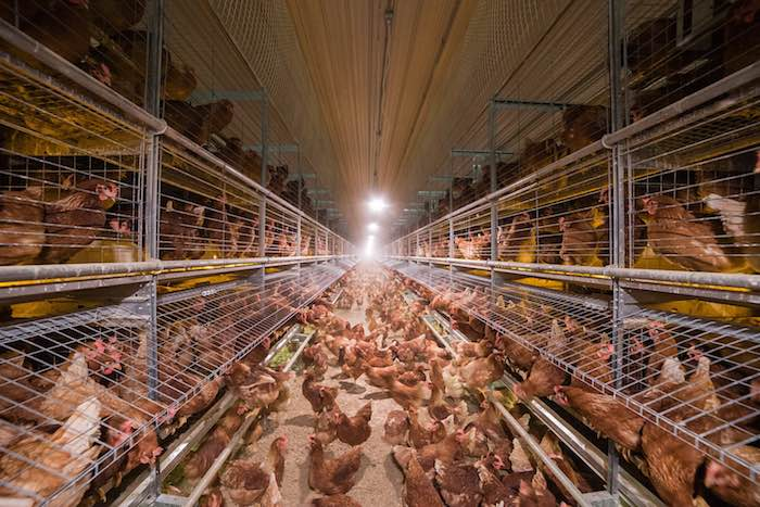 chickens-cage-free-designed by and courtesy-Big Dutchman