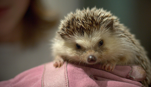 hedgehog-CC-The-Hadfields