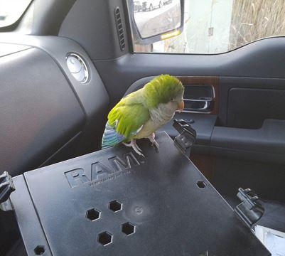 quaker parrot in truck-FB-Brandon Muir