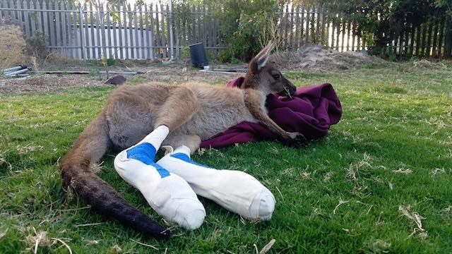relaxing roo Bandaged Baby Kangaroos FEATURED FB Waroona Veterinary Clinic
