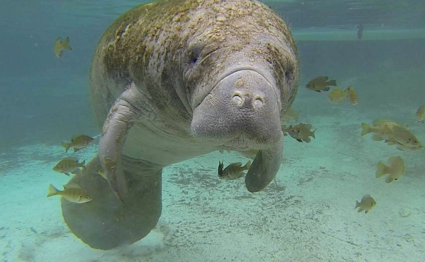 west indian manatee-CC-S_Whitcraft-USFWS-850px