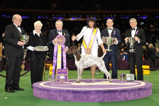 2016_best of show Westminster dog winner-German Shorthaired pointer