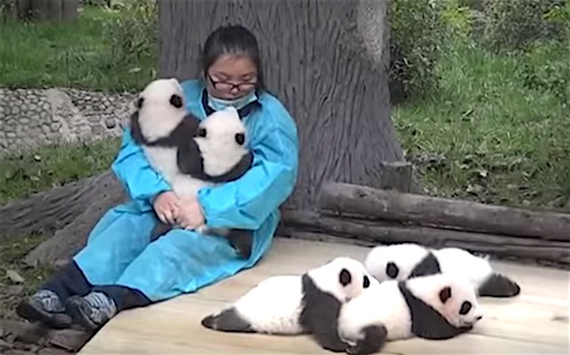 Baby Panda Cuddler screenshot