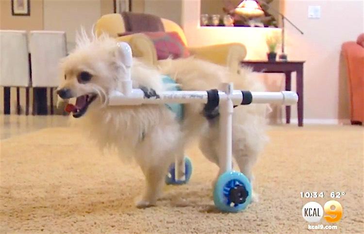Benny the Dog in DIY Wheelchair screenshot KCAL