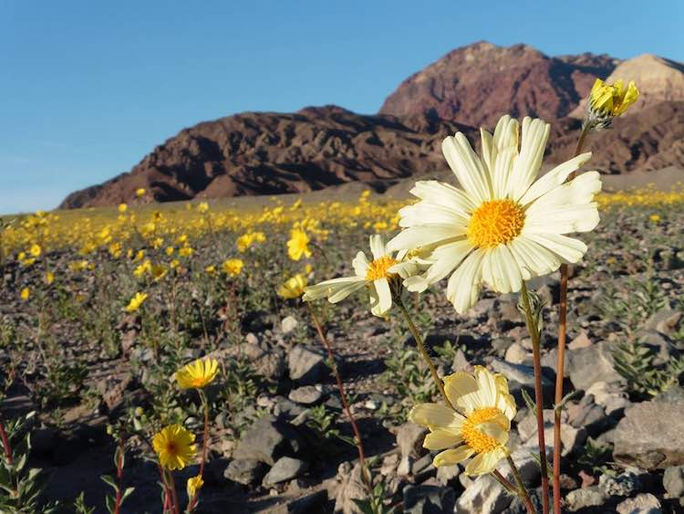 Death Valley Superbloom FB National Park Service
