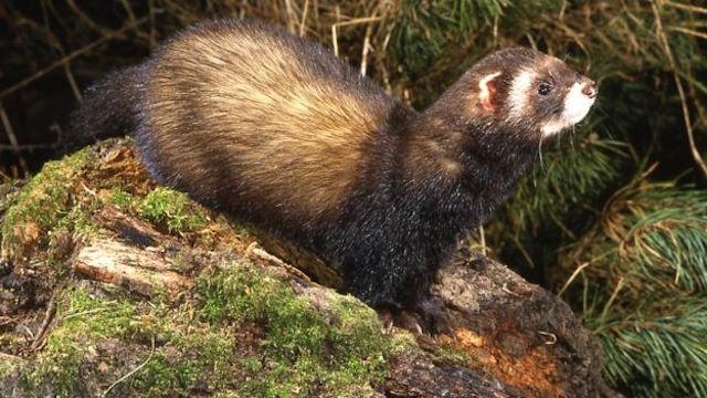 Polecat released The Vincent Wildlife Trust