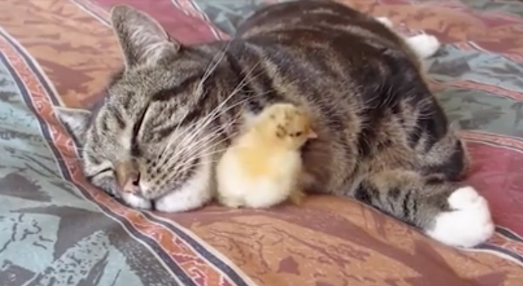 Cat Tolerates Baby Chick– But, When it Grows into Chicken? Funny (WATCH)