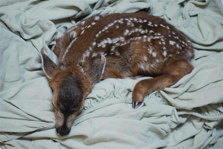 Fawn Sleeping - Released Karen Parsons