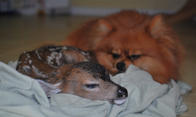 Fawn Sleeping With Pomeranian - Released Karen Parsons