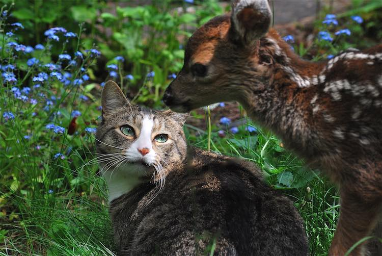 Fawn and Cat - Released Karen Parsons