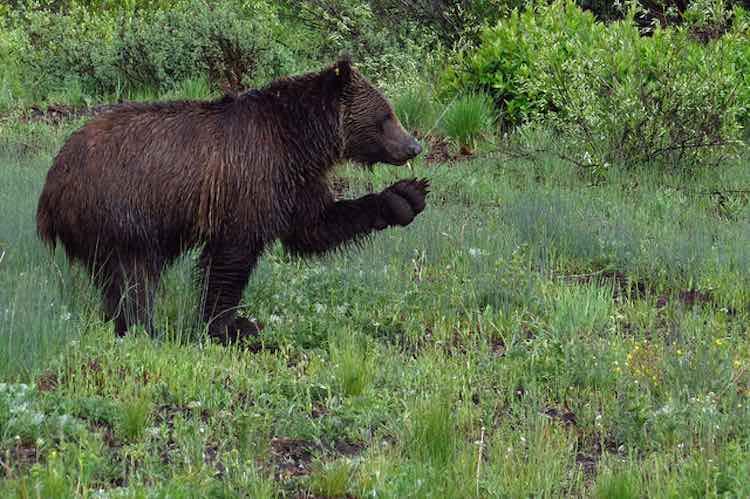 Grizzly Bear - CC Aquila-chrysaetos