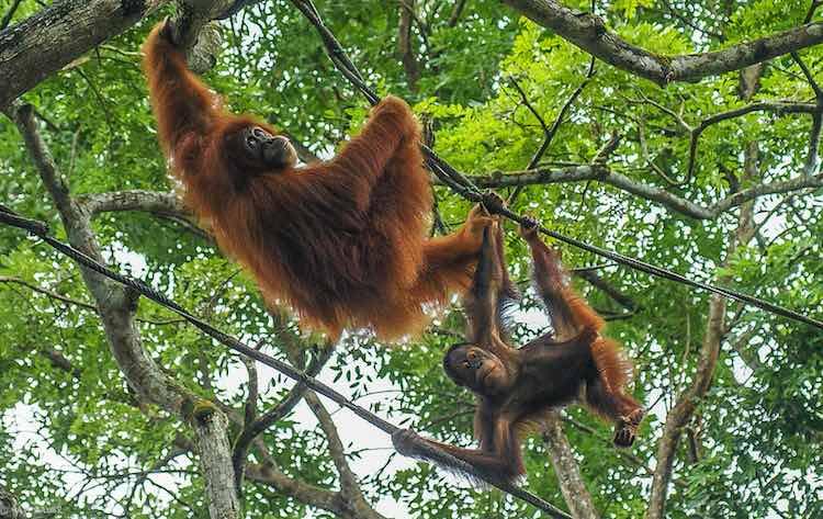 Orangutans - CC Hadi Zaher