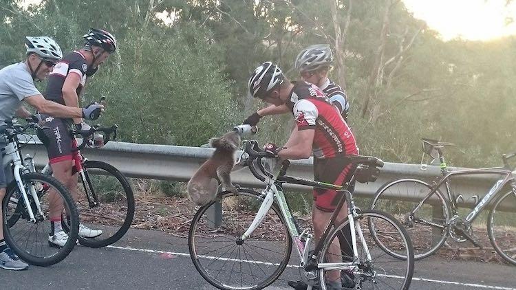 Thirsty Koala -- Nick Lothian Facebook