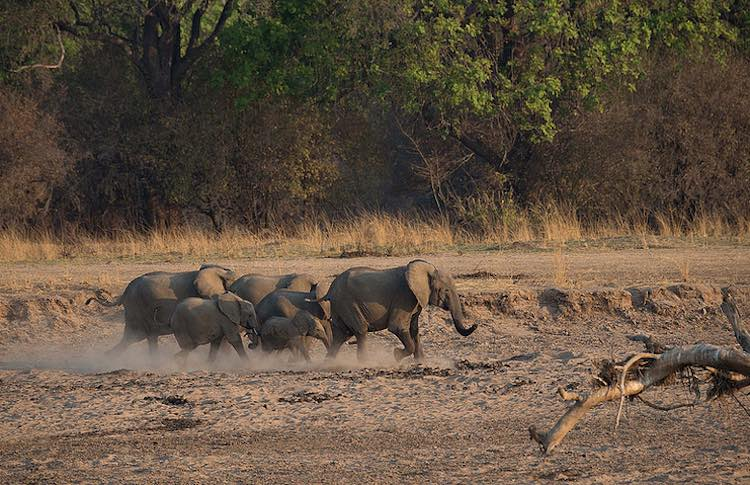elephant herd running in zambia -NatureConservancy-released-Kenneth-Coe