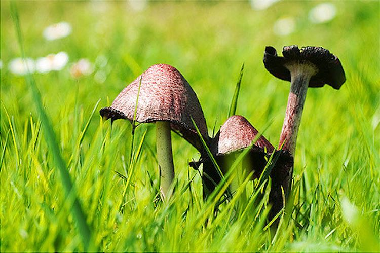 mushrooms in grass-cc-ginko
