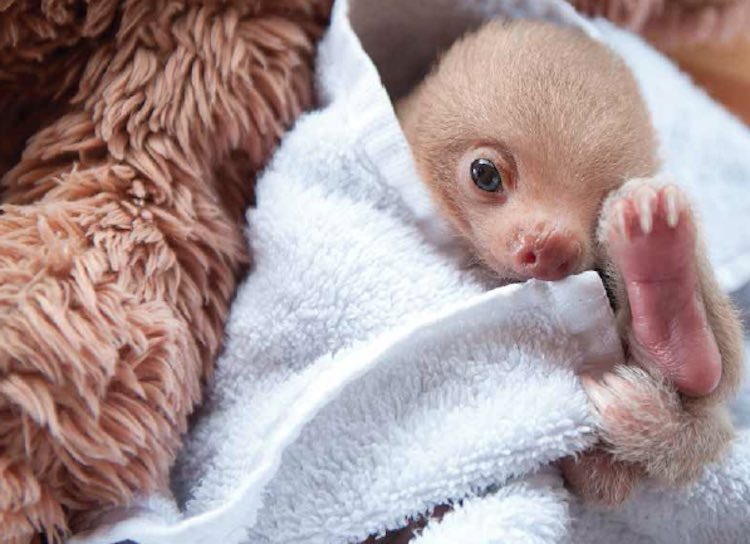 Baby Sloth In Towel - Released Sam Trull