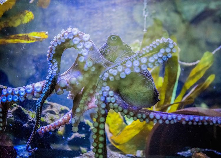 New Zealand Aquarium-Inky the Octopus-released