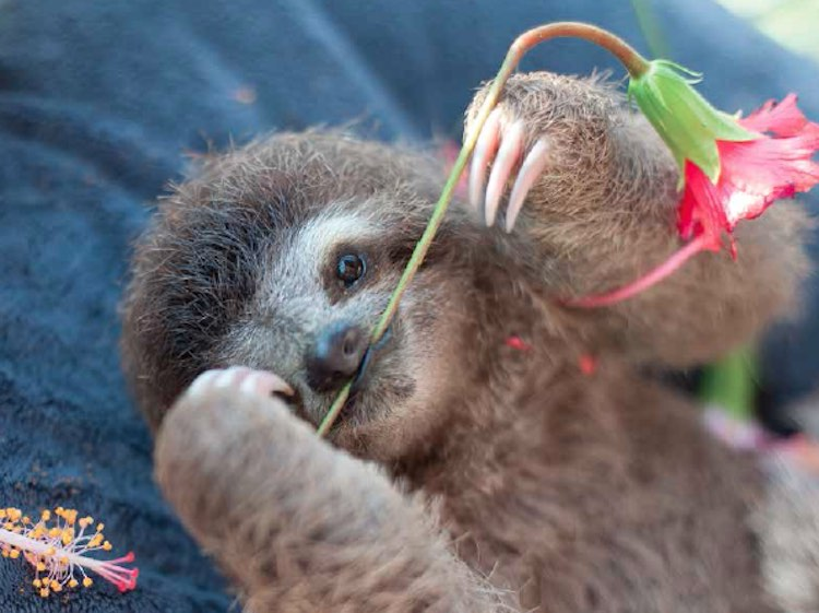 Sloth With Flower - Released Sam Trull