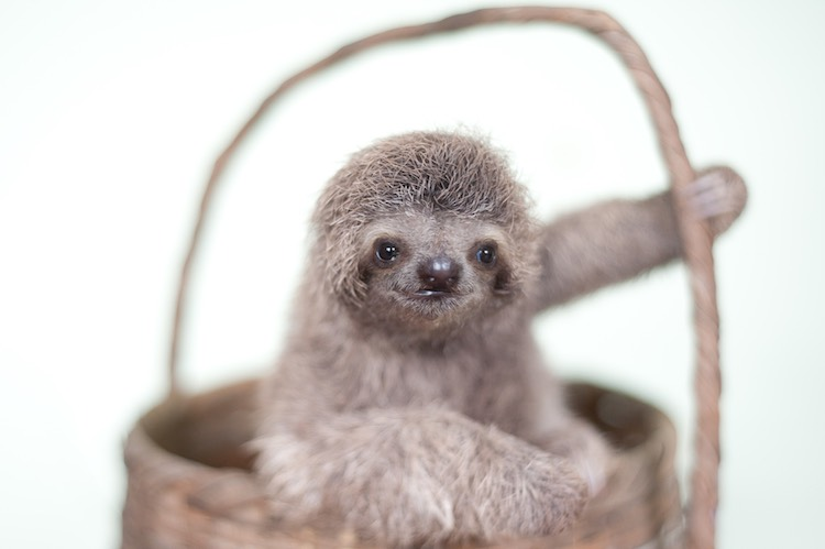 Sloth in small basket-Slothlove-submitted