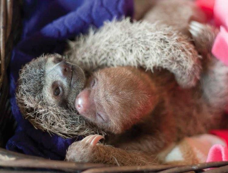 Sloths Hugging - Released Sam Trull
