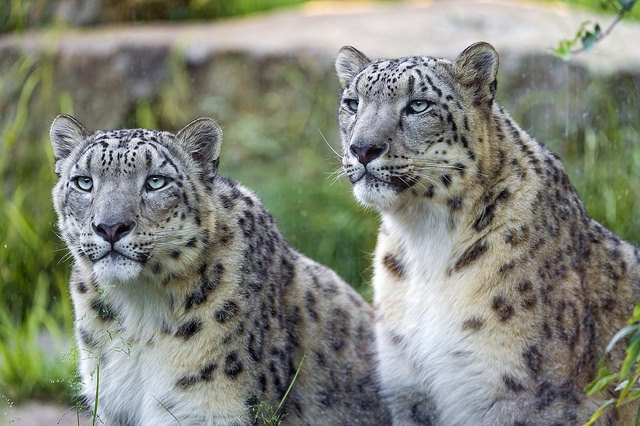Nepal Goes All Out To Protect The Snow Leopard S Future