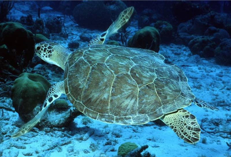 green-sea-turtle-NOAA