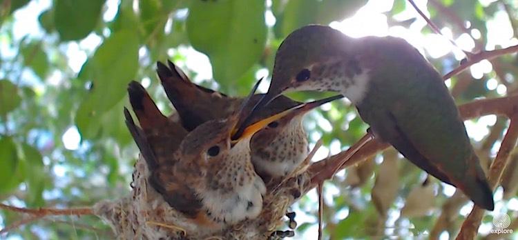 hummingbird-bella-feed-young-ExploreDotOrg