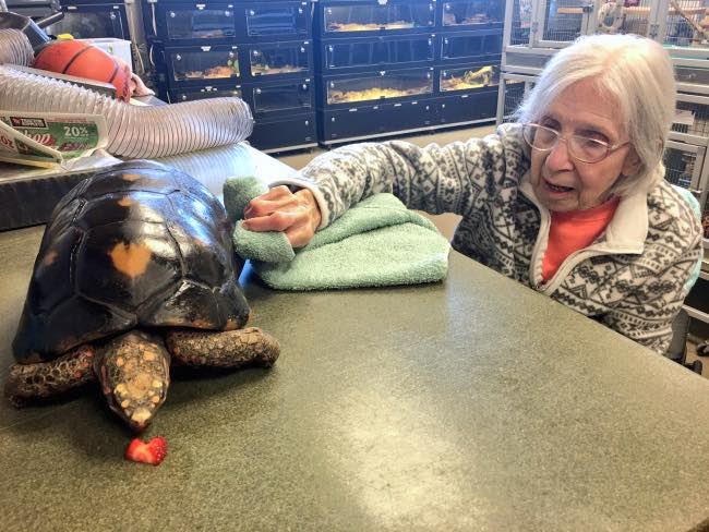 senior volunteer cares for tortoise at zoo-released
