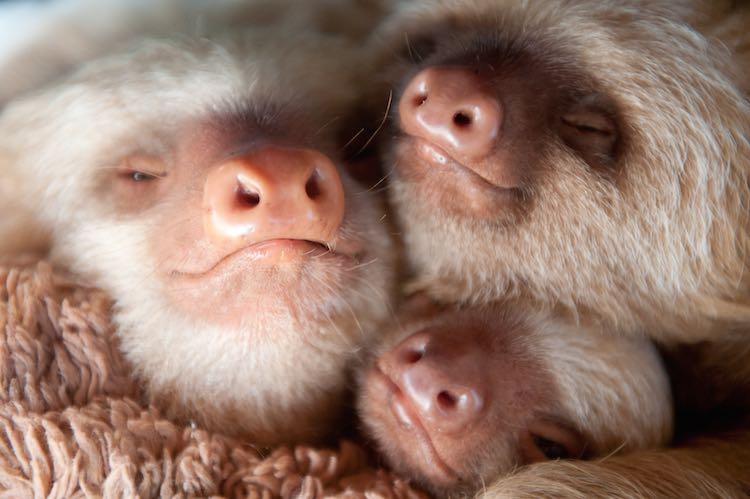 sloths Three noses-slothlove