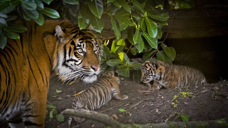 sumatran_tiger_and_cubs-copyright wwf-alex_walsh