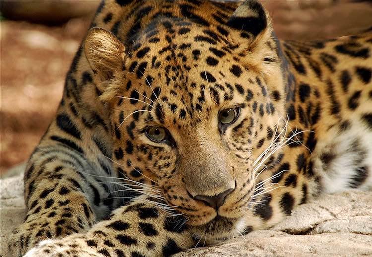 Amur Leopard 2 CC digitalART