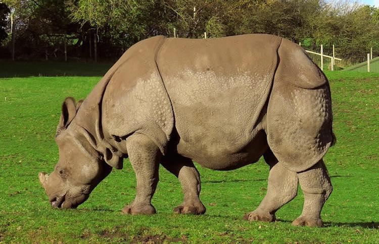 Grazing Rhino - CC Ozzy Delaney