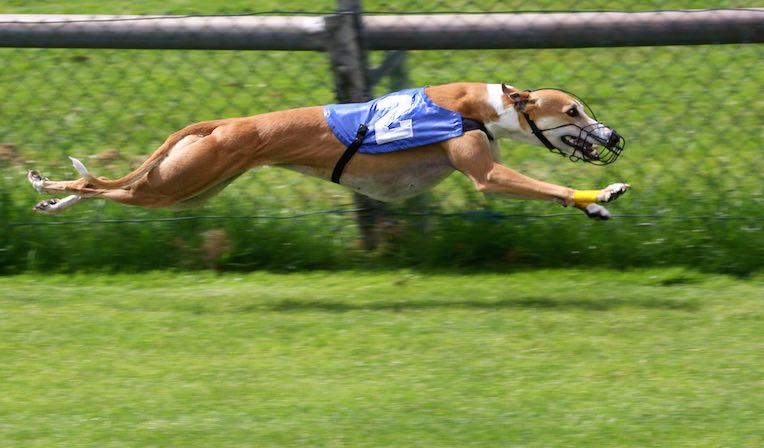 Greyhound_Racing_cc-AngMoKio
