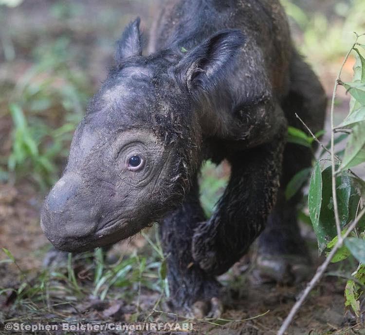 baby sumatran rhino-Intl-Rhino-Foundation-FB