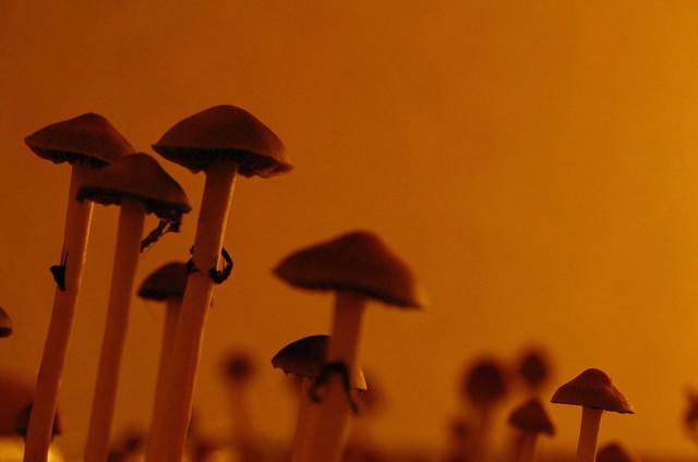 psilocybin-mushrooms-cc-afgooey74