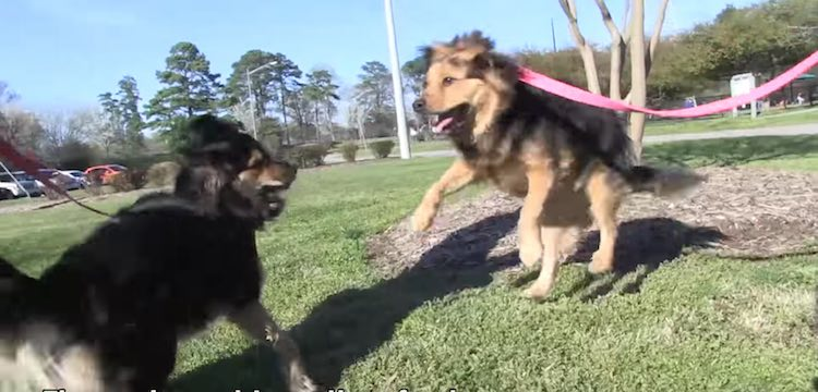 2 german shephard mutts on leashes-peta-video