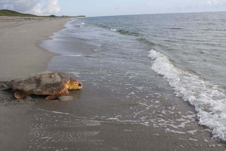 Loggerhead turtle rescue FB MyFWC