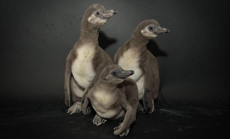Penguin Chicks 2016