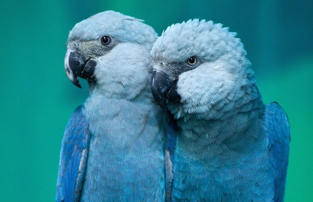 Spix_s-Macaw-Rio-wiki-Avian Aficionado