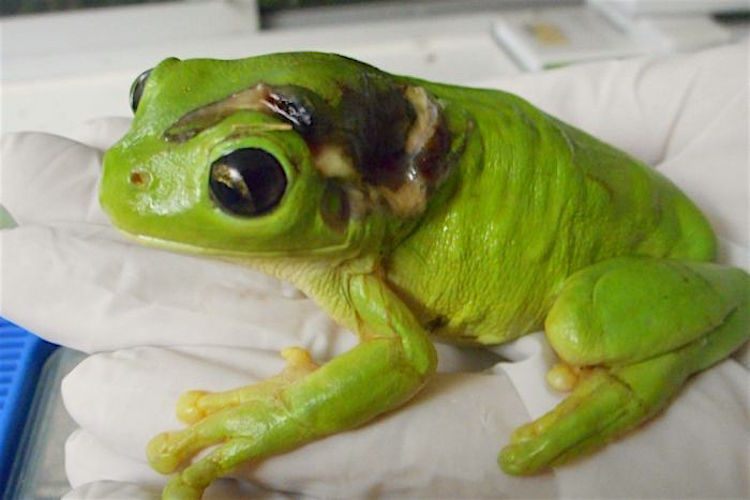 Wounded Tree Frog released Frog Safe Inc