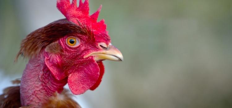 chicken-gates-blog
