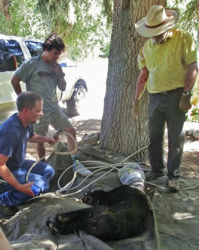 Bear Stuck in Barrel - Sharill Hawkins