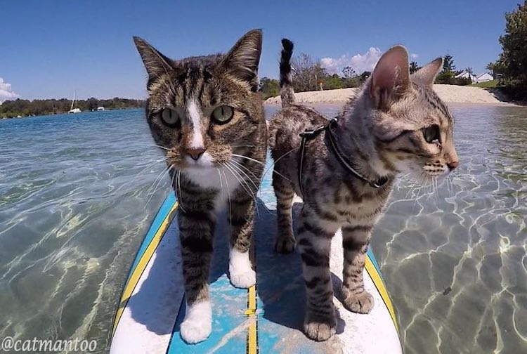 Cats Surfing Youtube
